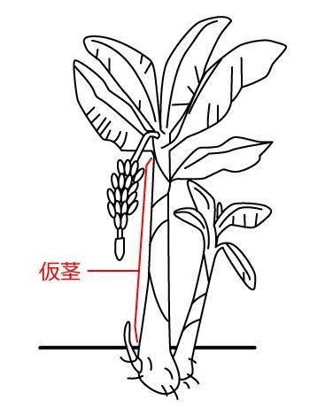 バナナの植物学 |バナナ大学 - バナナの情報総合サイト -